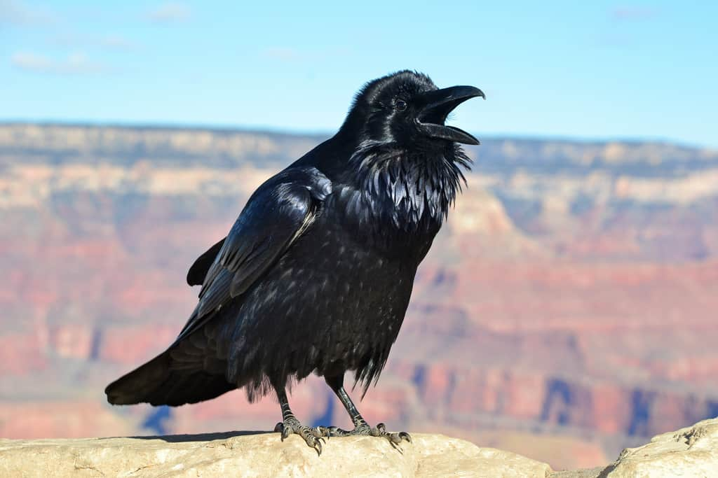 Grand Canyon Raven at Hopi Point 0081 - Foto Grand Canyon NPS - CC BY 2.0