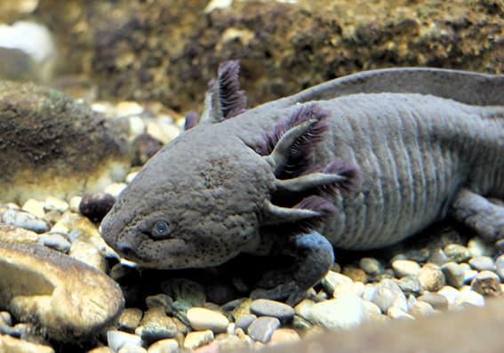 Axolotl_Uni_Konstanz