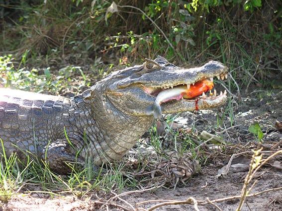 Krokodil frisst Piranha